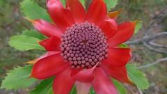 Waratah (John Tann) Tags: red flower australia september nsw waratah 2011 proteaceae telopea speciosissima telopeaspeciosissima geo:country=australia taxonomy:family=proteaceae dharawalnaturereserve taxonomy:binomial=telopeaspeciosissima
