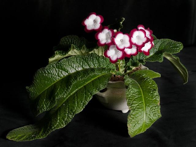 Streptocarpus 'Roulette Cherry'