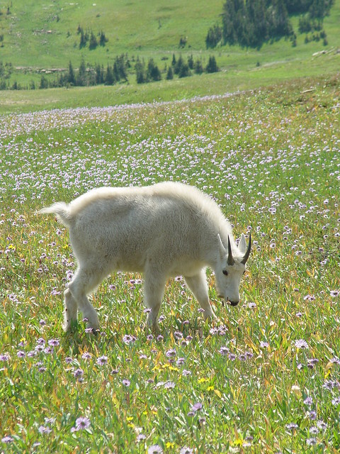 mt goat with wildflowers