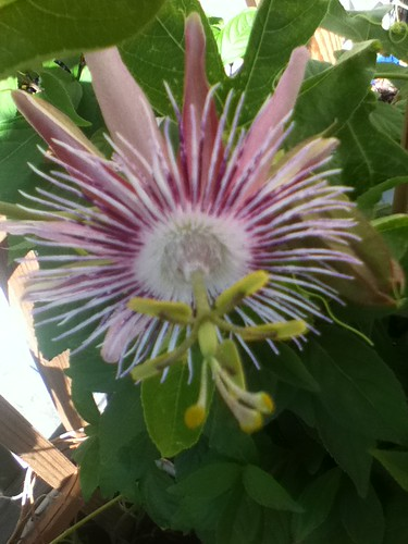 some of my passiflora - Page 2 6121274176_5fcb08a337