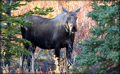 Moose - Animal - Wildlife - Alaska (blmiers2) Tags: travel autumn brown green fall nature beautiful animal animals alaska nikon wildlife moose alcesalces d3100 blm18 blmiers2