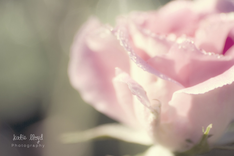 Soft-Rose
