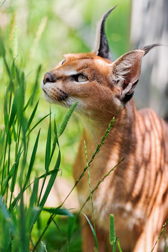 [フリー画像] 動物, 哺乳類, カラカル, 201109122300 著者:Tambako t