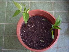 trasplante planta pimientos huerto urbano