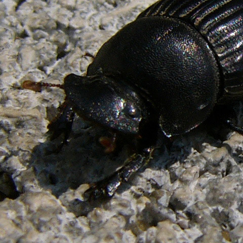 scarab-0