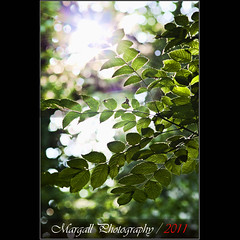 Backlight in the wood - Jupiter 200mm f4 m42 (Margall photography) Tags: wood light sun leaves backlight photography leaf 21 bokeh m42 marco jupiter f4 200mm galletto margall
