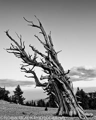 Portrait of an Elder (Ancient Bristlecone Pine, Patriarch Grove) (Robin Black Photography) Tags: california blackandwhite bw tree monochrome