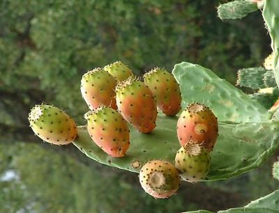 El higo chumbo en el cactus