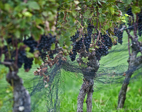 grape vine by Alida's Photos