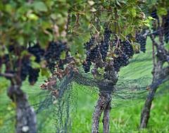 grape vine (Alida's Photos) Tags: longislandny grapes grapevine northfork eastend wineries suffolkcounty
