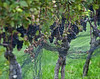 grape vine (Alida's Photos) Tags: longislandny grapes grapevine northfork eastend wineries suffolkcounty