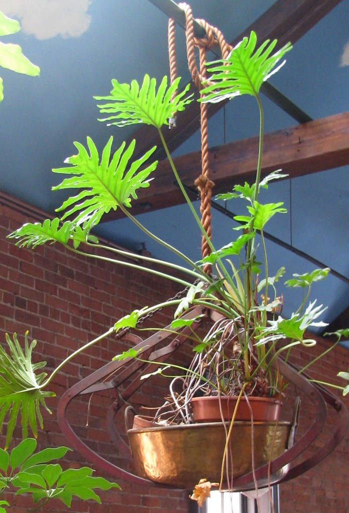 LACY TREE PHILODENDRON.....