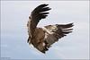 Vale Gier -  Condor (Alex Verweij) Tags: france canon atack 7d frankrijk condor demonstratie rocamadour fok vliegen gier roofvogel valegier roofvogels landinggeardown andescondor alexverweij atackmode giersoort midipyreneeen adelaarsrots