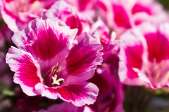 Wide Awake (Fesapo) Tags: pink flowers summer japan canon bright sunny 7d shimane matsue wideawake perky   135mmf2l