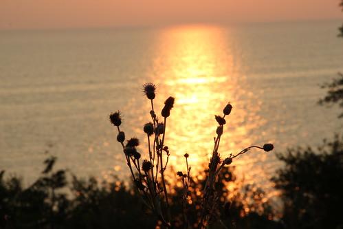 sunset & thistle silhouette