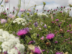 Wildflower Meadow Medley (Alex Staniforth: Wildlife/Nature Photography) Tags: summer alex photography cheshire photos outdoor wildlife group pic casio staniforth stani exfh20