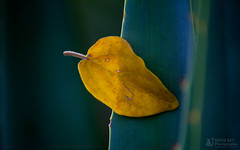 Yellow Leaf (Rhivu_Ray) Tags: world travel india art nature yellow canon photography is leaf alone tour earth august getty efs f456 bestofnature bestofindia canoneos7d 55250mm efs55250mmf456is paschimbanga ringexcellence rhivu hijliforest rhivuray rhitamvarray rhivuphotography