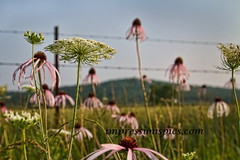 Missouri Coneflowers