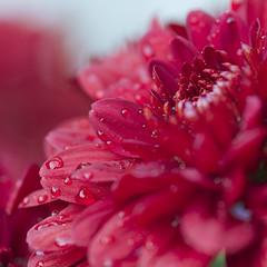 Aster (Maik Nern) Tags: flower macro drops waterdrops blume makro blüte aster wassertropfen regentropfen 60d sigma105mmmakro