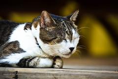Resort Cat (texan photography) Tags: heron cat monkey nikon belize crocodile bats howler lightroom3 d3100