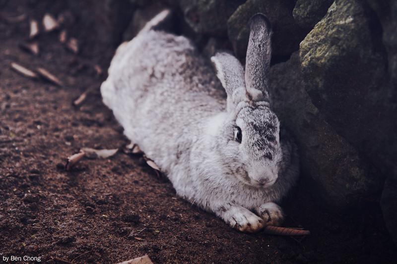 Animal - Rabbit
