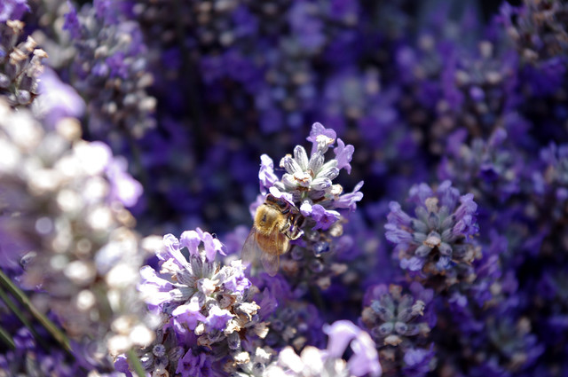 Bees in Lavender at Trout Lake Farmers Market