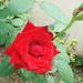 Rosa vermelha, Campina Grande-PB, Brasil.