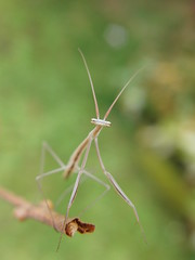 CIMG8065 (mantidboy) Tags: pet green grass female bug mantis insect all praying exotic breeding twig only stick females predator captive borealis mantid preying bred brunners brunneria parthenogenetic