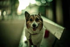Good Morning (moaan) Tags: dog corgi welshcorgi pochiko morning walk stroll park bench rest smile smiling shade sunlight morningsunlight leica m9 leicam9 noctilux 50mm f10 leicanoctilux50mmf10 bokeh dof digital utata 2011 explored gettyimagesjapanq4