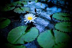 Lotus (moaan) Tags: life leica summer flower digital 50mm flora dof lotus bokeh dream f10 serenity utata flowering serene noctilux perpetual m9 kachoen lotusflower  2011 perpetuity summerdream inlife  leicanoctilux50mmf10 kobekachoen leicam9 gettyimagesjapanq4