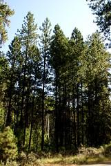 Pinedrops 2 of 4 (jacki-dee) Tags: wild flower oregon centraloregon woods wildflower pinewoods pinedrops pyrolaceae beechdrops andromedea pterosporaandromedea pterospora wintergreenfamily
