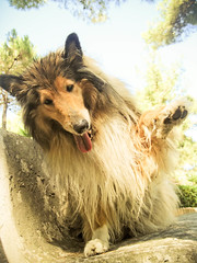 paw paw me (Hermio-Black) Tags: dogs bench paw collie candy lassie thelittledoglaughed