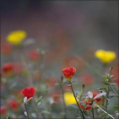 India. Portulaca Grandiflora (lalie sorbet) Tags: red wild india flower macro nature fleur yellow closeup jaune canon rouge bokeh sorbet lalie widllife colorphotoaward eos60d ringexcellence blinkagain