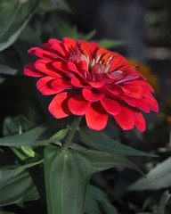 Red Zinnia (mimicapecod) Tags: red summer nature garden zinnias redflowers fantasticflower flickrsfantasticflowers