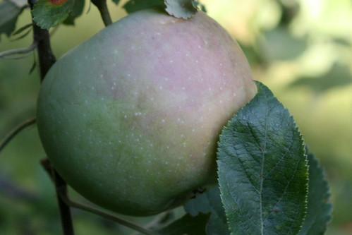 apple 022