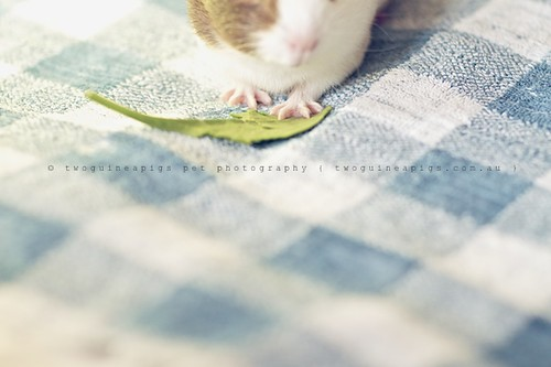 Dainty, guinea pig Gertrude's portrait by twoguineapigs pet photography
