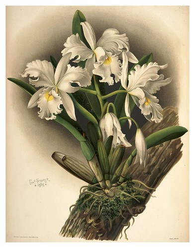 024-Cattleya Rochellensis-Reichenbachia-Orchids illustrated and described..VolI I-1888-F.Sander