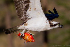 Osprey with Goldfish (rracine1) Tags: fish canada nature birds britishcolumbia wildlife places columbia british kelowna osprey pandionhaliaetus bif pandion naturesfinest haliaetus avianexcellence