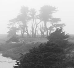 Trees_in_Fog_B&W_MG_3148_2 (t.beam) Tags: california trees bw fog coast foggy cypress fortbragg