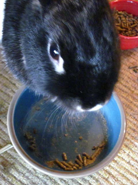 Oreo eating her pellets.