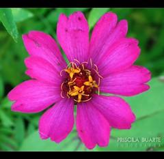 # Pequenina (Priscila Duarte | Fotografia) Tags: brazil flower macro flor pernambuco rosinha florzinha pequenina prisciladuarte fujifilmhs10