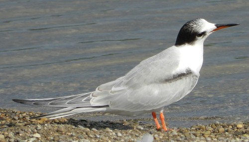 Juv. Common Tern