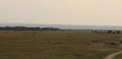 Cheetah watching (Sum_of_Marc) Tags: africa wild animal animals kenya african safari zebra antelope cheetah gazelle kenia afrique conservancy eastafrica thomsons ケニア 獵豹 チーター olpejeta 肯尼亚 olpejetaconservancy republicofkenya 猎豹 肯尼亞