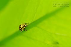 All the way up ! (patrickiven) Tags: macro yellow citroen ladybug geel macrofotografie nikond300s lieveheersbeeste