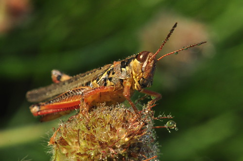 Grasshopper with Dew Drops on Clover at Sunrise