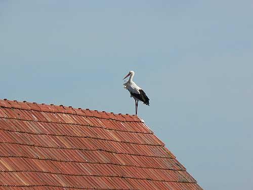 une cigogne sur le toit.jpg