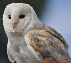 Falconry Centre Photo No S 028 (Me 2 You Photography 550,000+ Views) Tags: barn owl falconry me2youphotographylevel2 me2youphotographylevel3 me2youphotography