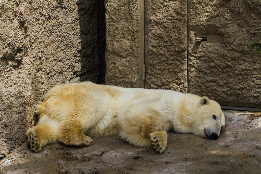 the polar bear suffer from the summer heat?