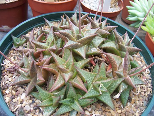 Winterbourne Haworthia tesselata