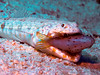 Lunch Time (Gagliardo_) Tags: life red sea food fish canon photography marine underwater hunting egypt scuba diving gota predator reef ramada hurghada abo مصر تصوير البحر أبو ikelite s95 غطس الغردقة الأحمر رمادة جطع